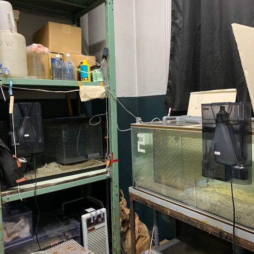 一年を通して20℃に保たれた部屋に、ヒトデ飼育用の水槽が2台あります。<br>この2台で、最大50匹程度飼育しています。水温は15-18℃に保っています。
