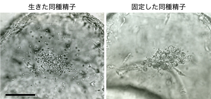 "<p style=""text-align: left""><strong>図3:同種精子に対する間充織細胞の応答</strong><br>固定した同種精子に対しては他の異物と同様凝集塊形 成を伴う貪食作用を示すが、生きた同種精子に対しては貪食行動を示さない。スケールバー: 20 μm。</p>"