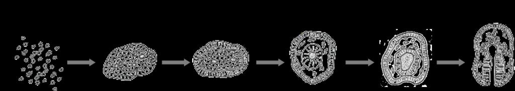 """<p style=""""text-align: left""""><strong>図5:ヒトデ胚の再構築過程</strong><br>解離後2時間程度で凝集塊形成が始まる。解離8時間後以降になると、外胚葉集団が外側に、中内胚葉集団が内側に配置する細胞選別が始まる。24時間程度経つと間充織領域が形成され、40-48時間あたりで原口ができる。それ以降は正常発生と同様の過程で幼生になる。</p>"""